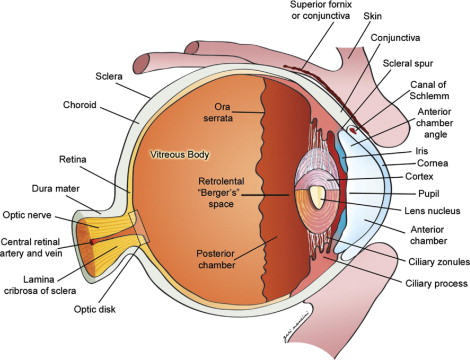 Oeil - thenaturalhealthdictionary.com
