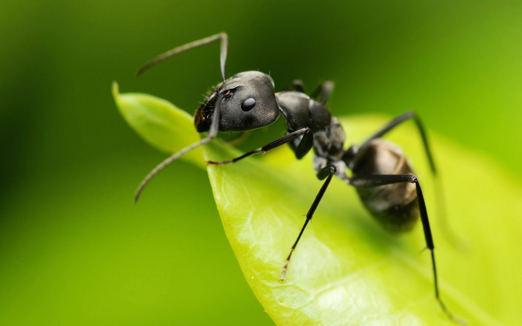 ant repellant - how to get rid of ants - thenaturalhealthdictionary.com
