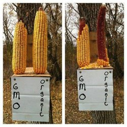 Difference of GM from non-GM Corn - the natural health dictionary.com