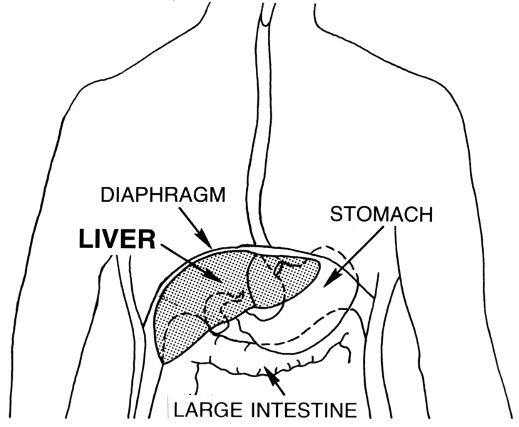 home liver cleanse - herbal liver cleanse - thenaturalhealthdictionary.com - the natural health dictionary - 728px-Liver_(PSF)