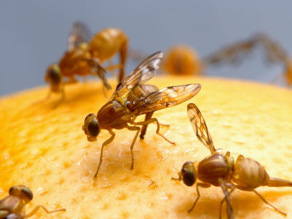 ذباب الفاكهة -https: //thenaturalhealthdictionary.com/wp-content/uploads/2020/05/Fruit-flies-1-1.jpg
